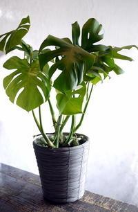 父の日に観葉植物「モンステラ」を。豊平3条にお届け。2018/06/17。 - 札幌 花屋 meLL flowers