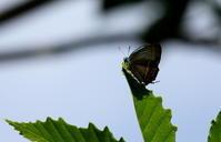 2018 ゼフの季節 その2 - 紀州里山の蝶たち