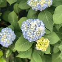 紫陽花、目と舌で味わう♪ - handvaerker ~365 days of Nantucket Basket~