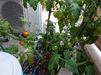 帰国後のベランダ菜園ミニトマト - 蒼穹、そぞろ歩き