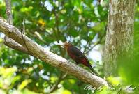 初見♪初撮り♪「ノグチゲラ」さん♪に会えましたbyミント編 - ケンケン&ミントの鳥撮りLifeⅡ