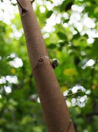 アオミオカタニシ(沖縄県浦添市201806 #9) - Blog: Living Tropically