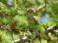 奥庭の鳥たち(キクイタダキ)ー6月3日〜4日 - View in mind