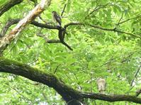 ツミの巣(7)巣立ち・コゲラの幼鳥・・・八王子/日野 - 浅川野鳥散歩