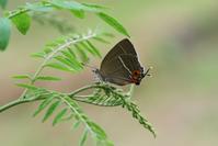 クロミドリ最盛期・・・♂♀開翅 - 蝶超天国