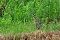リュウキュウヨシゴイ - ごっちの鳥日記