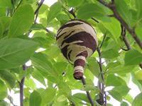 きれいなトックリ型のコガタスズメバチの巣。 - 大朝=水のふる里から