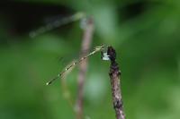 梅雨の晴れ間・・のはずが - 蝶と蜻蛉の撮影日記