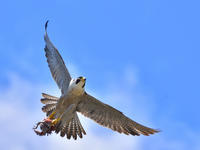 """ハヤブサ(隼)/Peregrine Falcon - 「生き物たちに乾杯」 第3巻 """"A Toast to Wildlife!"""" vol. 3"""