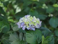 『関市板取の紫陽花園と板取川の流れ・・・・・』 - 自然風の自然風だより