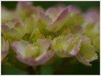 紫陽花と菖蒲と野に咲く花と。。。 - さくらおばちゃんの趣味悠遊