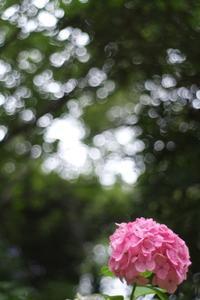 八景島の紫陽花 - 想い出