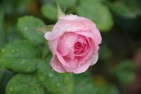 雨降るマイガーデンの夏の花 - 季節の風を追いかけて