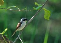 遠征 チゴモズ  - 今日も鳥撮り