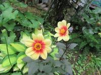 ムーンファイアー - だんご虫の花