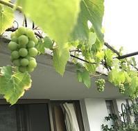 ベランダで鉢植えのブドウ(デラウエア)を育てています - 緑のしずく (ベランダガーデン便り)