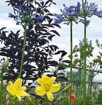 ベランダガーデン6月の花 - 緑のしずく (ベランダガーデン便り)