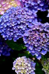 紫陽花と菖蒲の共演@江戸川 - 明日はハレルヤ in Bangkok