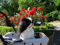「チンチン」っていう薔薇☆犬手作りごはんにすることも防災 - 狆の茶々丸