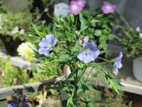 某店頭広告に使われていたフラックス・ブルー - bowerbird garden ~私はニワシドリ~