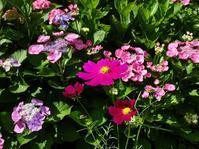 般若寺の紫陽花とコスモス - 彩の気まぐれ写真