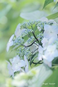 侍BLUE - Angel Voice*
