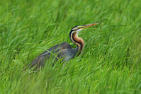 ムラサキサギ(Purple heron)/2018.06 - Birding  in  Japan!