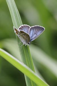 狭い生息地のアサマシジミとセセリたち - 蝶超天国