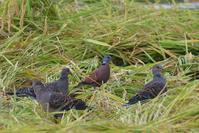 ベニバト - ごっちの鳥日記