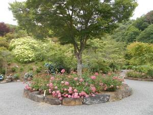 今日の紫陽花は - お花 to 園の情報