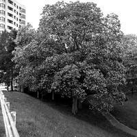 馬場公園のアカシアの巨木 - 照片画廊