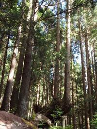 『株杉(かぶすぎ)が見られる風景・・・・・』 - 自然風の自然風だより