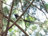 スギ林のサンコウチョウ - コーヒー党の野鳥と自然 パート2
