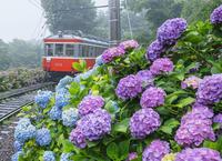 箱根登山鉄道あじさい電車 - エーデルワイスPhoto