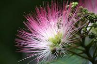 ネムノキ、タイサンボクの花と、木の実3種 - 子猫の迷い道Ⅱ