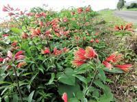 インカリリー - だんご虫の花