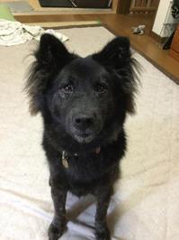 食いしんぼう - 琉球犬mix白トゥラーのピカ