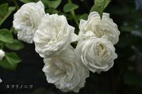 白く美しき蔓薔薇 - カヲリノニワ