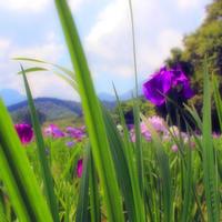 神楽女湖ノ菖蒲  2 0 1 8 - poem  art. ***ココロの景色***