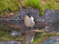奥庭の鳥たち(ウソ)ー6月3日〜4日 - View in mind