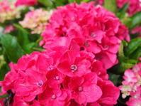 あじさいの花はいつまで⁇ - ルーシュの花仕事