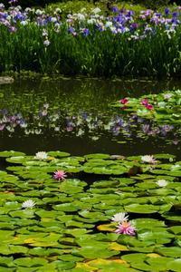 平安神宮神苑~花菖蒲、睡蓮、紫陽花 - 鏡花水月
