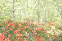 赤城山・白樺牧場のレンゲツツジ 4 - 光 塗人 の デジタル フォト グラフィック アート (DIGITAL PHOTOGRAPHIC ARTWORKS)