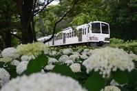 西武園線とアナベル - 鉄道日記コム