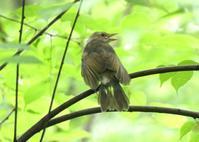 ヒヨドリの幼鳥・・・八王子 - 浅川野鳥散歩