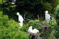 白鷺の子たち、小さなアマガエル、公園の花など - ぶらり散歩 ~四季折々フォト日記~