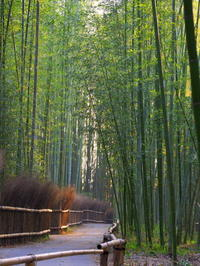 嵐山の竹林はなぜそんなに人気があるのか? - 花散歩写真 in Vancouver