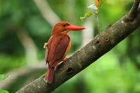 アカショウビン(Ruddy kingfisher)/2018.06 - Birding  in  Japan!