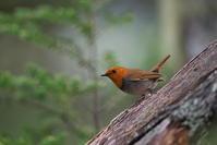 亜高山の夏鳥 その2 - 瑞穂の国の野鳥たち
