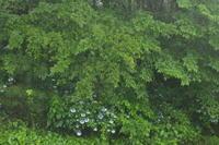 あじさい、あじさい、あじさい  Hydrangea All Around - my gallery-2